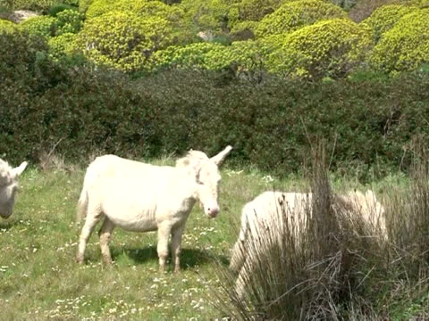 The island of Asinara in the northwest of Sardinia once a prison for mafia bosses and the terrorists now a wildflife reserve and home to Europe's...