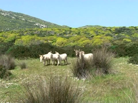 the island of asinara in the north-west of sardinia: once a prison for mafia bosses and the terrorists, now a wildflife reserve and home to europe's... - hooved animal stock videos & royalty-free footage