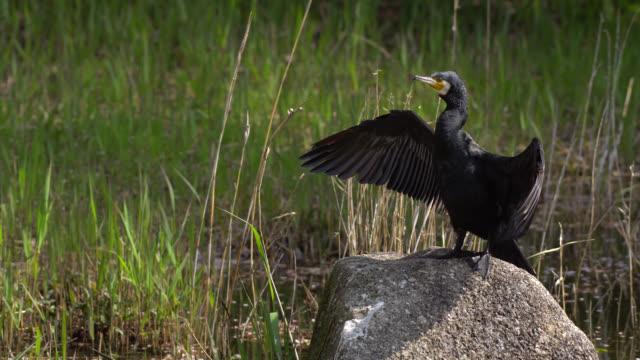 the japanese cormorant (phalacrocorax capillatus) - 4k - hamamatsu stock videos and b-roll footage