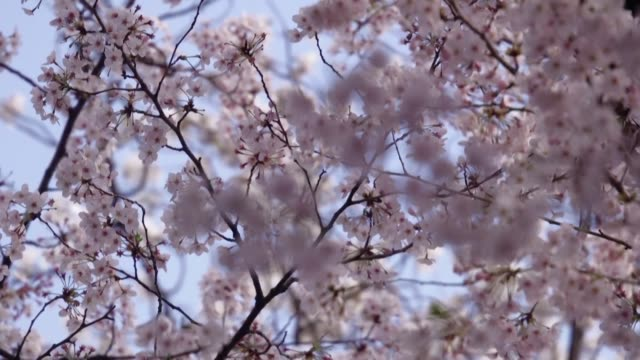 the japanese government urges people to refrain from traditional cherry blossom hanami parties to protect against spreading the new coronavirus - traditional festival stock videos & royalty-free footage