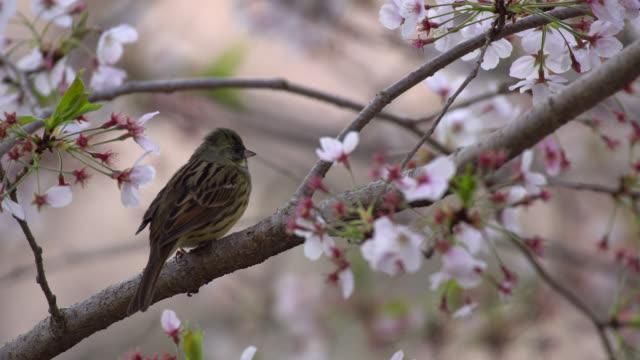 the japanese yellow bunting (emberiza sulphurata) enjoying cherry blossom. - hamamatsu stock videos and b-roll footage