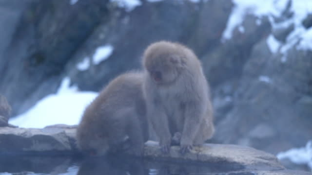 the jigokudani monkey park experience of seeing wild monkeys bathing in a natural hot spring the park is inhabited by japanese macaques which are... - jigokudani monkey park stock videos & royalty-free footage