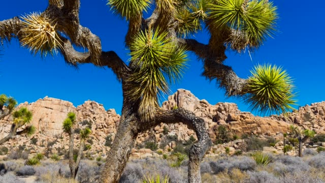 the joshua tree - joshua tree national park stock videos & royalty-free footage
