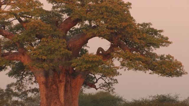 The large canopy of a baobab tree spreads high over grasses in the Bushveld. Available in HD.