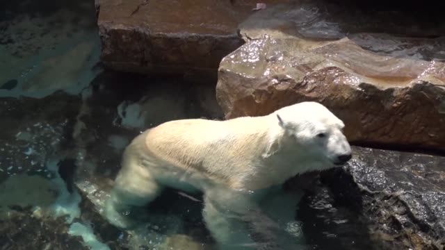 vídeos y material grabado en eventos de stock de the last polar bear kept in south korea will be sent to britain to escape the country's stifling humid summers and live out his days in more... - clima polar