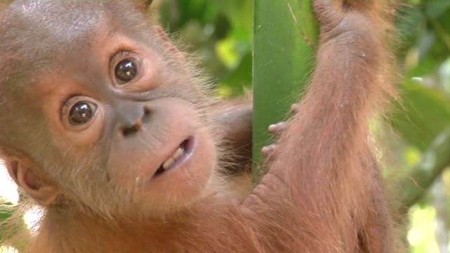 the last remaining sumatran orangutans are under threat by an expected relaxation of logging laws that will open up swathes of forest for commercial... - forestry industry stock videos & royalty-free footage