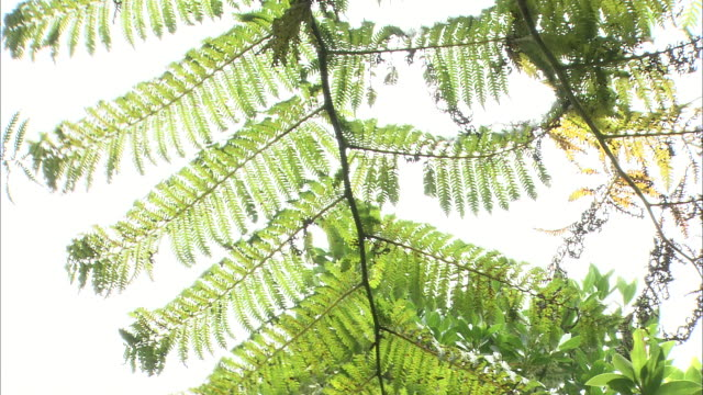 The leaves of a Cyathea mertensiana tree wave in a gentle breeze.