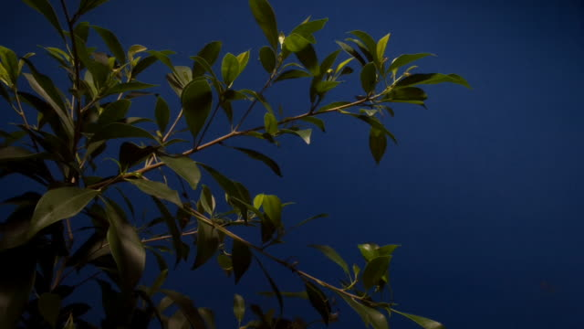 the leaves of a ficus plant grow against a blue screen. available in hd. - chroma key stock videos & royalty-free footage
