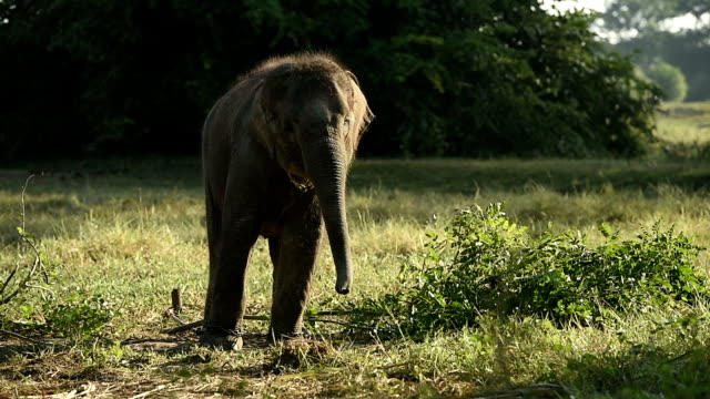The life of Asian elephant