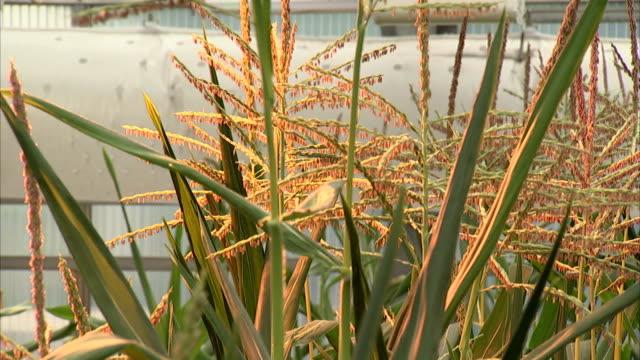 the light from heat lamps illuminates corn crops. - tassel stock videos & royalty-free footage