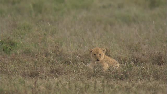 the lion cub roaring in serengeti national park, tanzania - cub stock videos & royalty-free footage
