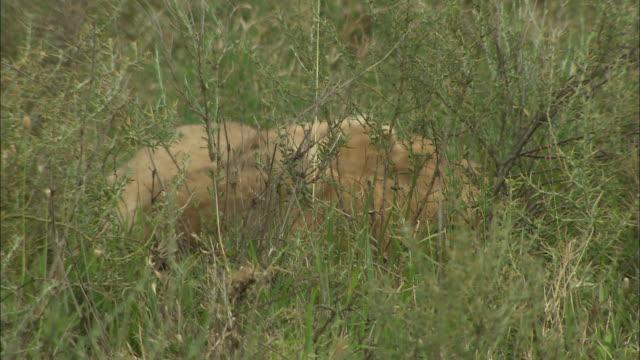 vídeos de stock, filmes e b-roll de the lion cubs lying down in the bushes at serengeti national park, tanzania - grupo pequeno de animais