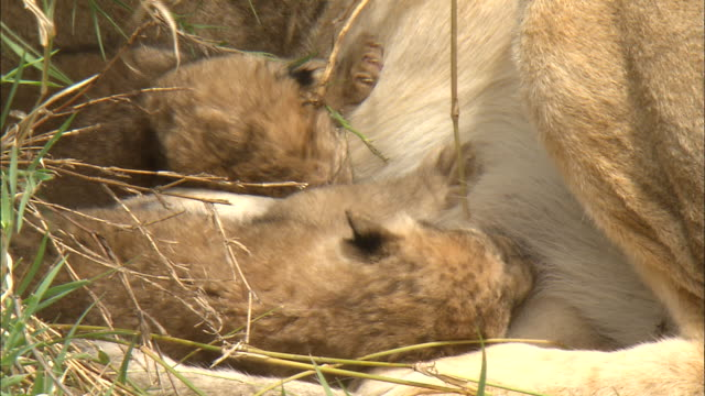 the lion cubs sucking the breast in the bushes at serengeti national park, tanzania - young animal stock-videos und b-roll-filmmaterial