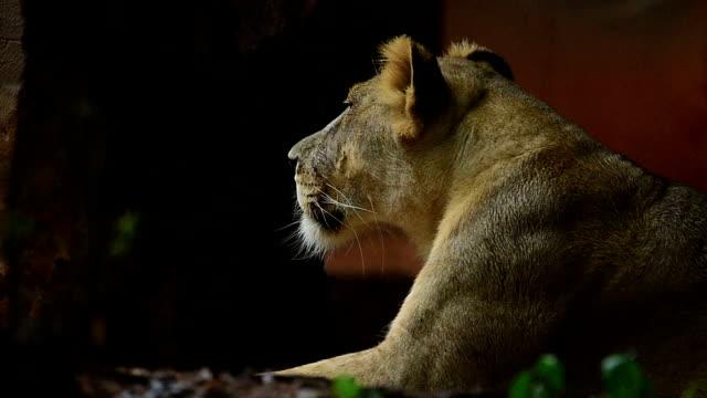 the lion - animale femmina video stock e b–roll