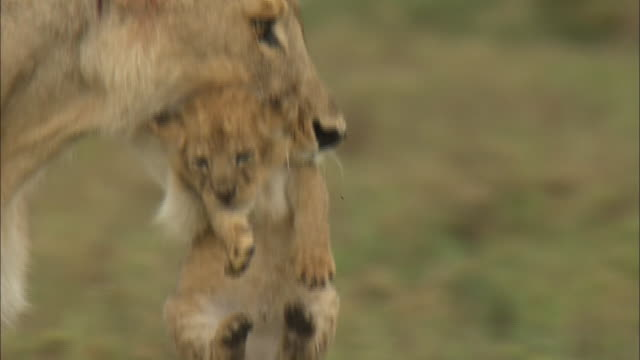 the lioness moving with its baby in serengeti national park, tanzania - löwe großkatze stock-videos und b-roll-filmmaterial