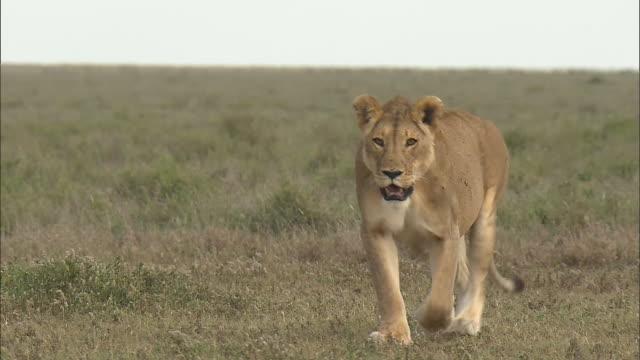 The lioness walking in Serengeti National Park, Tanzania