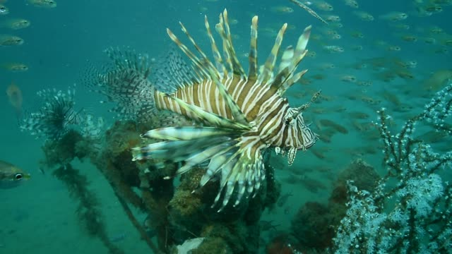 the lionfish;an invader that threatens the western atlantic. - caribbean sea stock videos and b-roll footage