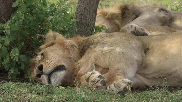 vidéos et rushes de the lions sleeping and lying down on the grass at serengeti national park, tanzania - lion