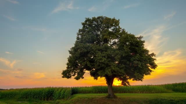 t/l the lonely tree at sunset - single tree stock videos & royalty-free footage