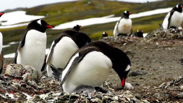 Kärleken till en mor som visas i denna Antarktis hakband pingvinkoloni