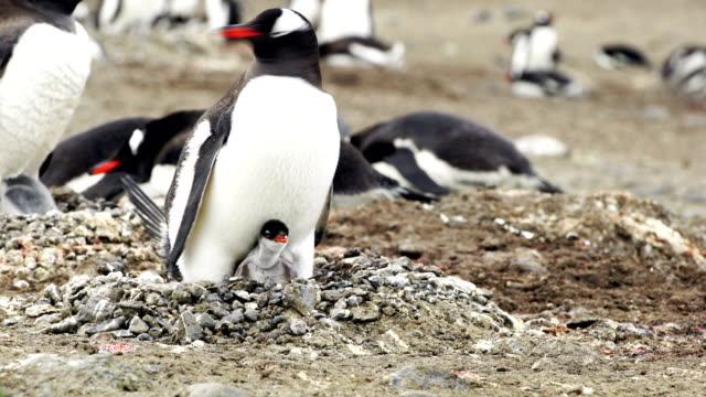 the love of a mother shown in this antarctic chinstrap penguin colony - young bird stock videos & royalty-free footage