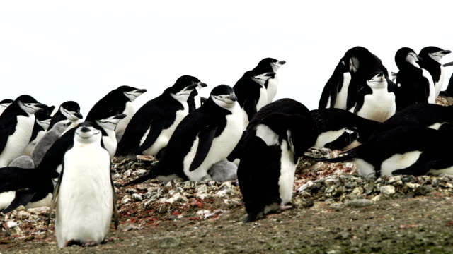 the love of a mother shown in this antarctic chinstrap penguin colony - foster care stock videos & royalty-free footage