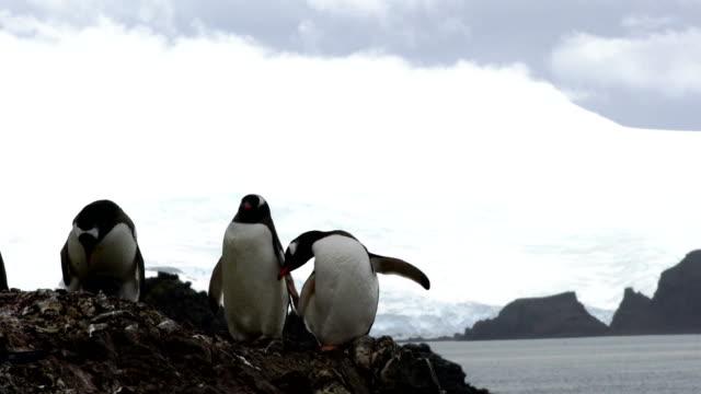 この南極アゴヒゲ ペンギンのコロニーに示すように母の愛 - 依存点の映像素材/bロール