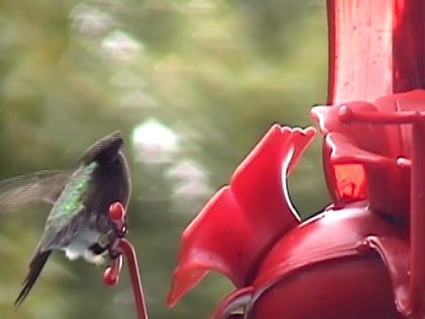 stockvideo's en b-roll-footage met the majestic hummingbird - dierlijke mond