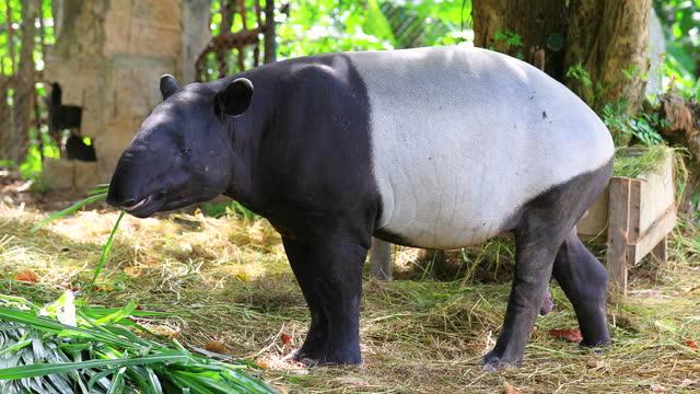 the malayan tapir (tapirus indicus) on grass. - herbivorous stock videos & royalty-free footage