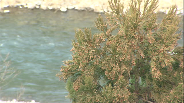 the male flowers from a japanese cedar tree hang over the tama river in tokyo, japan. - 花粉点の映像素材/bロール