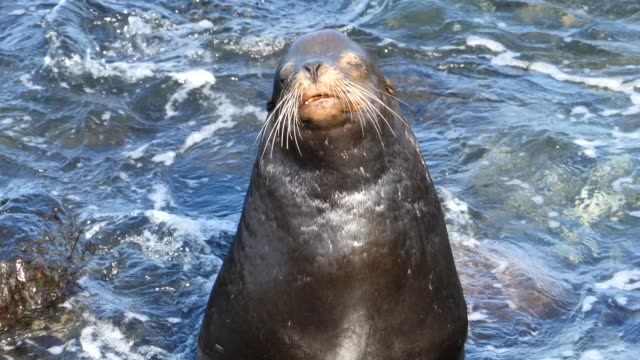 vidéos et rushes de the male galapagos sea lion with a lot of scars in galapagos islands - lion de mer