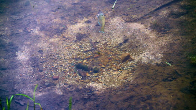 the male pumpkinseed sunfish guarding the nest in the pond in poconos, pennsylvania, usa - pond stock videos & royalty-free footage