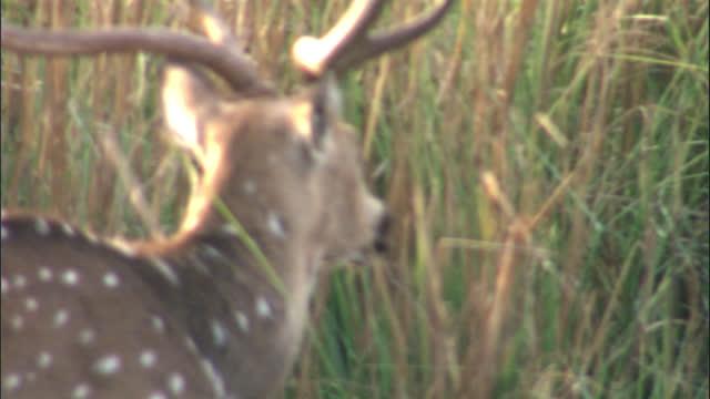 vídeos y material grabado en eventos de stock de the male spotted deer getting ready for the matting - medium shot - medium group of animals
