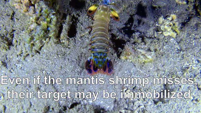 the mantis shrimp isn't the largest animal in the ocean, but it packs a wallop like creatures many times its size. this is the reason that it... - aquatic organism stock videos & royalty-free footage