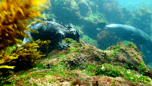 the marine iguana eating algae from rocks in the sea, galapagos islands - galapagos land iguana stock videos & royalty-free footage