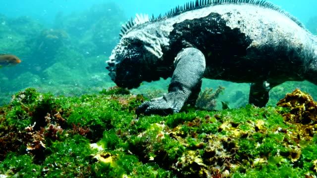 vídeos de stock e filmes b-roll de the marine iguana eating algae from rocks in the sea, galapagos islands - iguana terrestre de galápagos