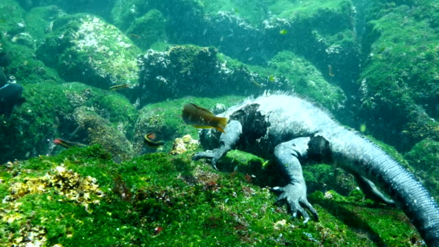 the marine iguana eating algae from rocks in the sea, galapagos islands - galapagos islands stock videos & royalty-free footage
