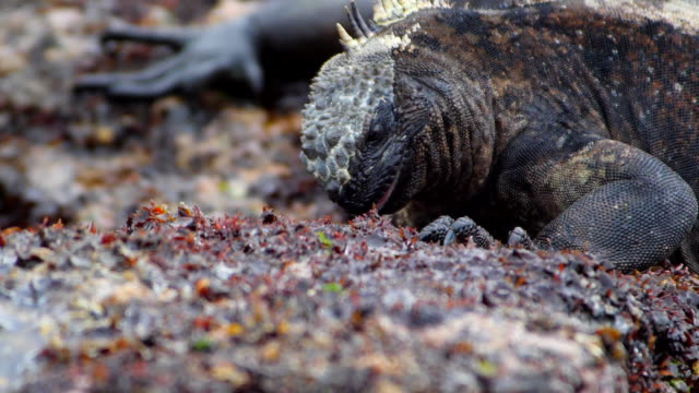 vídeos de stock e filmes b-roll de the marine iguana eating algae in galapagos islands - iguana terrestre de galápagos