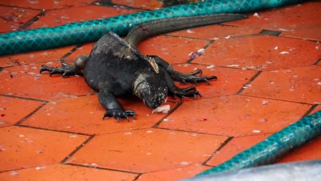 vídeos y material grabado en eventos de stock de the marine iguana eating food from the floor in galapagos islands - iguana de los galápagos