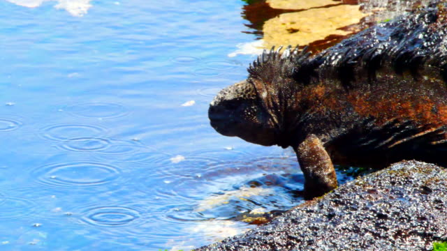 the marine iguana going into the sea for food in galapagos islands - iguana stock videos & royalty-free footage