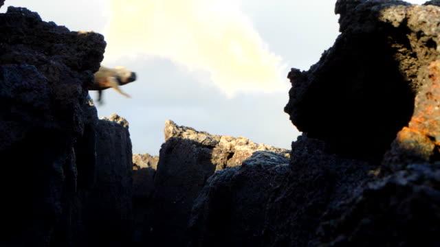 The Marine iguana jumping from Rocks in Santa Cruz Island, Galapagos