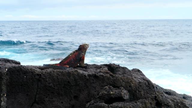 the marine iguana on the rock in galapagos islands - ガラパゴスリクイグアナ点の映像素材/bロール