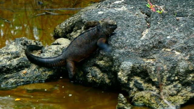 the marine iguana out of the lake in santa cruz island, galapagos - galapagos land iguana stock videos & royalty-free footage