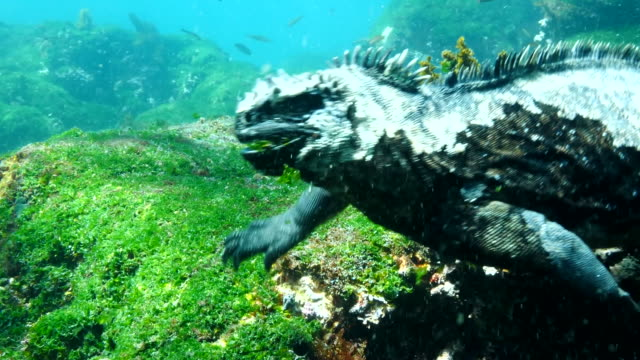 the marine iguana rising to the water surface in galapagos islands - iguana stock videos & royalty-free footage