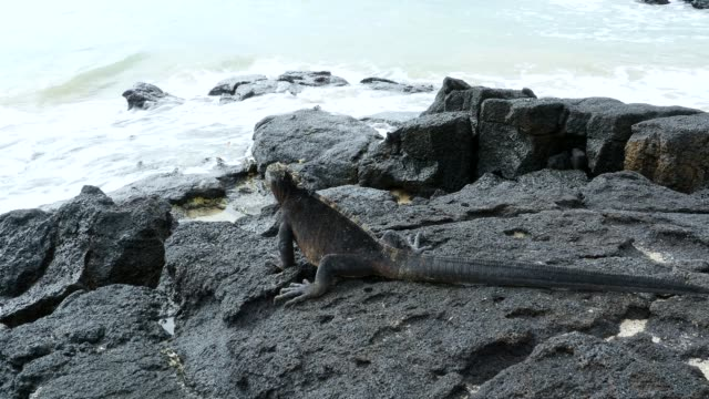 the marine iguana sunbathing in galapagos islands - ガラパゴスリクイグアナ点の映像素材/bロール