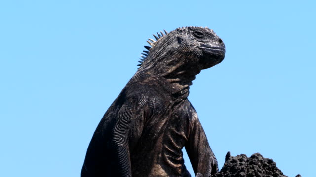 The Marine iguana sunbathing on the rock in Santa Cruz Island, Galapagos