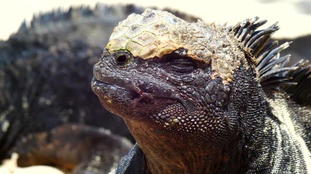 the marine iguana that drive flys away in galapagos islands - ガラパゴスリクイグアナ点の映像素材/bロール