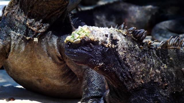 vídeos y material grabado en eventos de stock de the marine iguana that drive flys away in galapagos islands - iguana de los galápagos