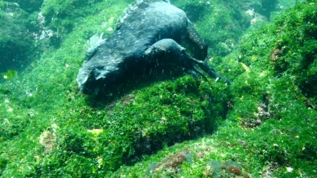 the marine iguana that eating moss on rocks in galapagos islands - ガラパゴスリクイグアナ点の映像素材/bロール