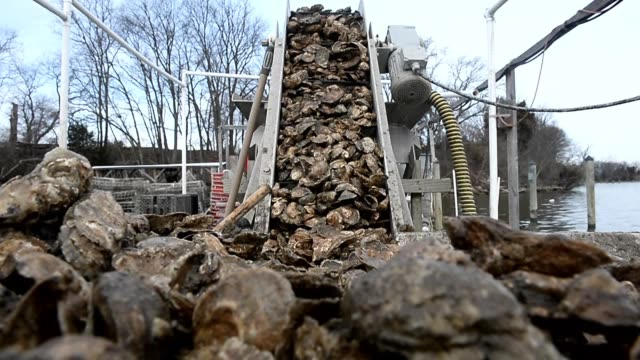 the maryland oyster industry is worth over $15 million and oysters are among the most valuable fisheries in the chesapeake bay along with blue crab... - mollusk stock videos & royalty-free footage